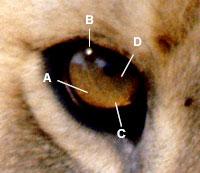 Augen malen bei Tierportraits – Grundlagen von Jason Morgan