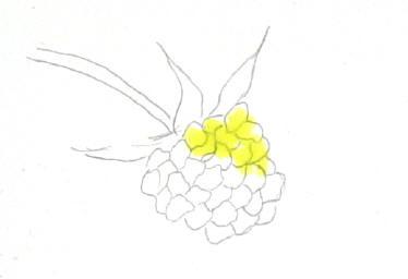 berrystep02web